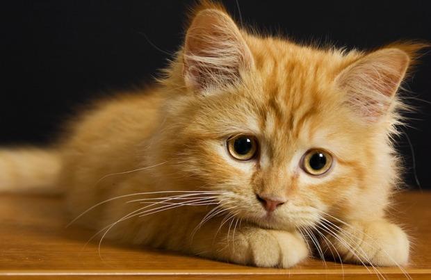 Macskahűség